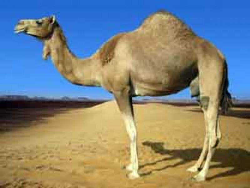 Humphrey the Camel
