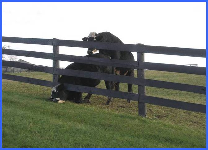 Cow with head stuck under fence